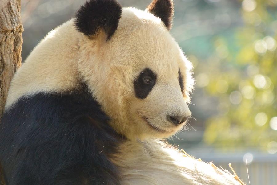 パンダの日