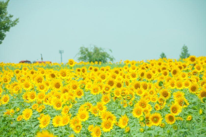 7月14日は『ひまわりの日』。でも…花のひまわりとは関係ないの?