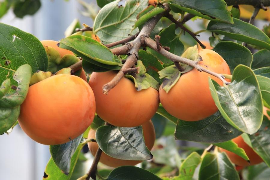 柿を食べよう〜