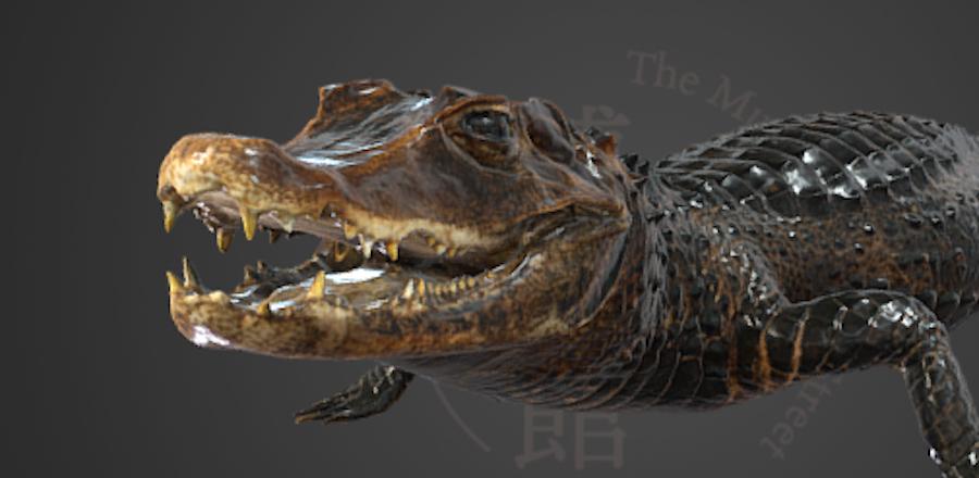 コビトカイマンの3D画像 (画像提供:国立科学博物館)